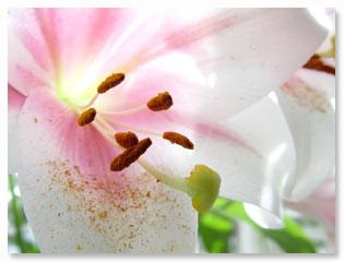 lily, macro, close up